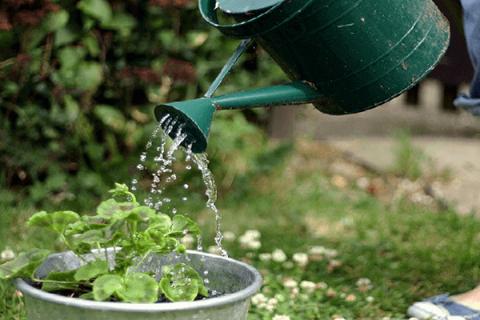 Sử dụng dịch chuối tưới cây cho hiệu quả bất ngờ