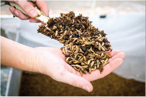 Sử dụng ruồi lính đen khử mùi hôi chuồng gà còn nhiều hạn chế