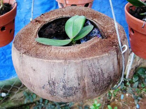 Bên cạnh giá thể than củi, chúng ta còn có giá thể vỏ dừa trồng hoa lan khá tốt.