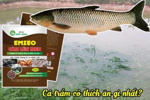 Cách cho cá trắm cỏ ăn dựa theo trọng lượng cá trong ao