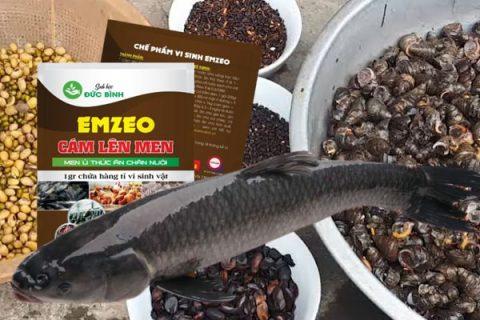 Cách làm thức ăn nuôi cá trắm đen đơn giản mà hiệu quả cao